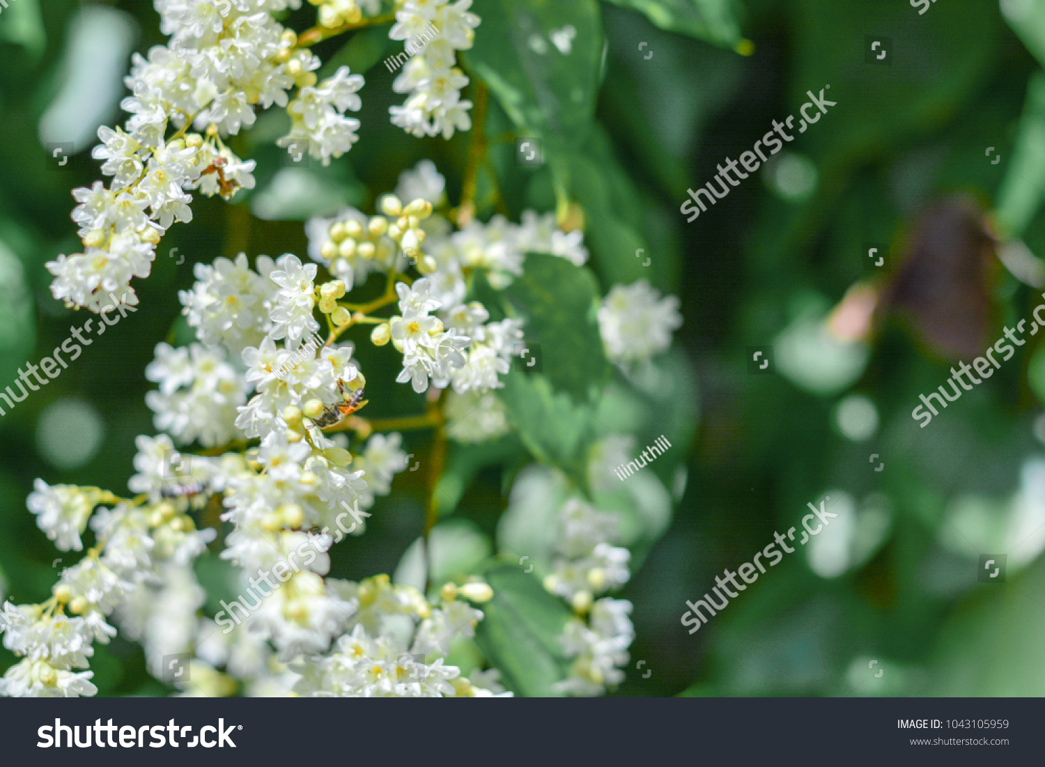 Beautiful good smell little white flowers stock photo edit now beautiful good smell little white flowers bridal creeper snow creeper blooming in garden mightylinksfo