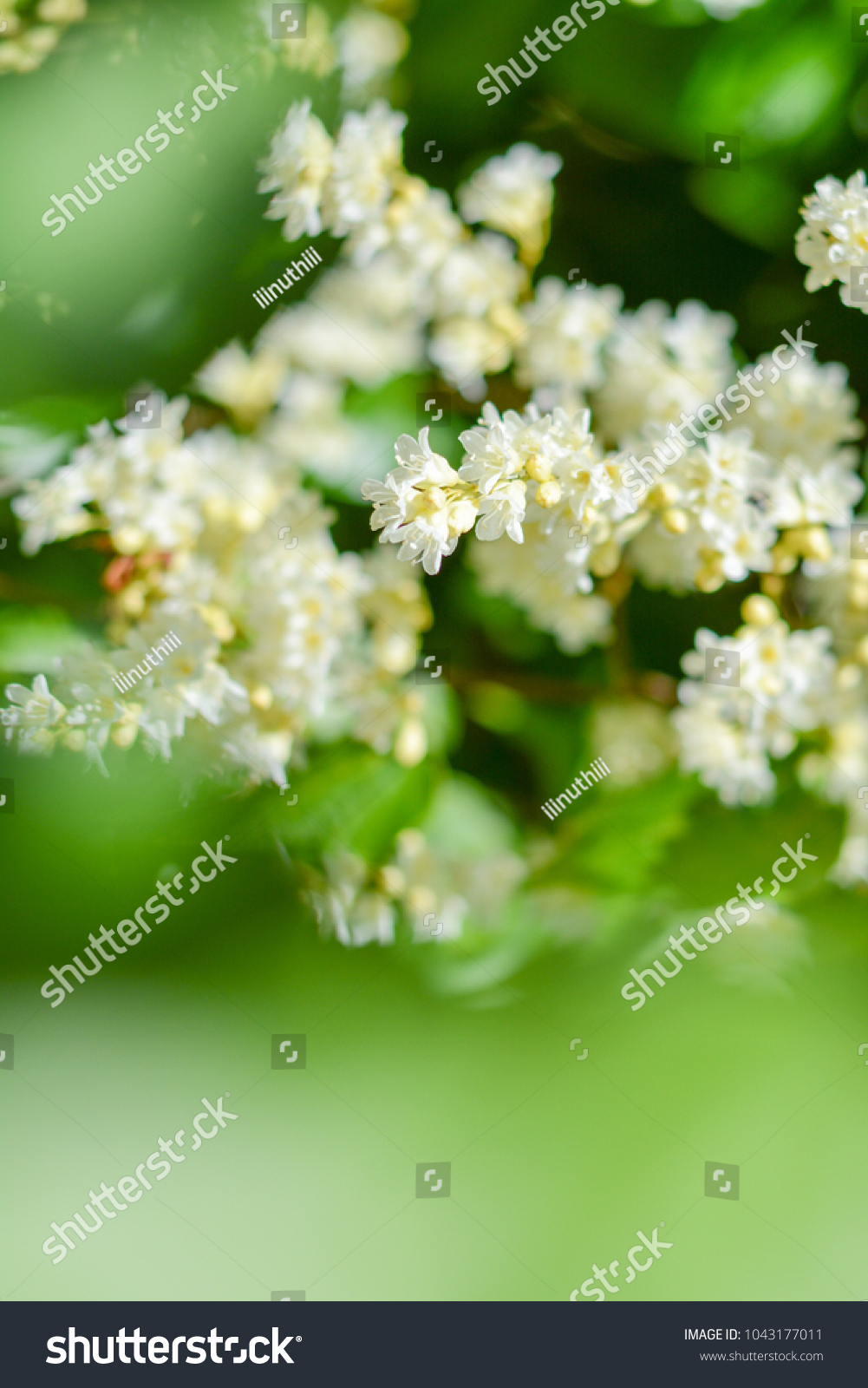 Beautiful Good Smell Little White Flowers Stock Photo Edit Now