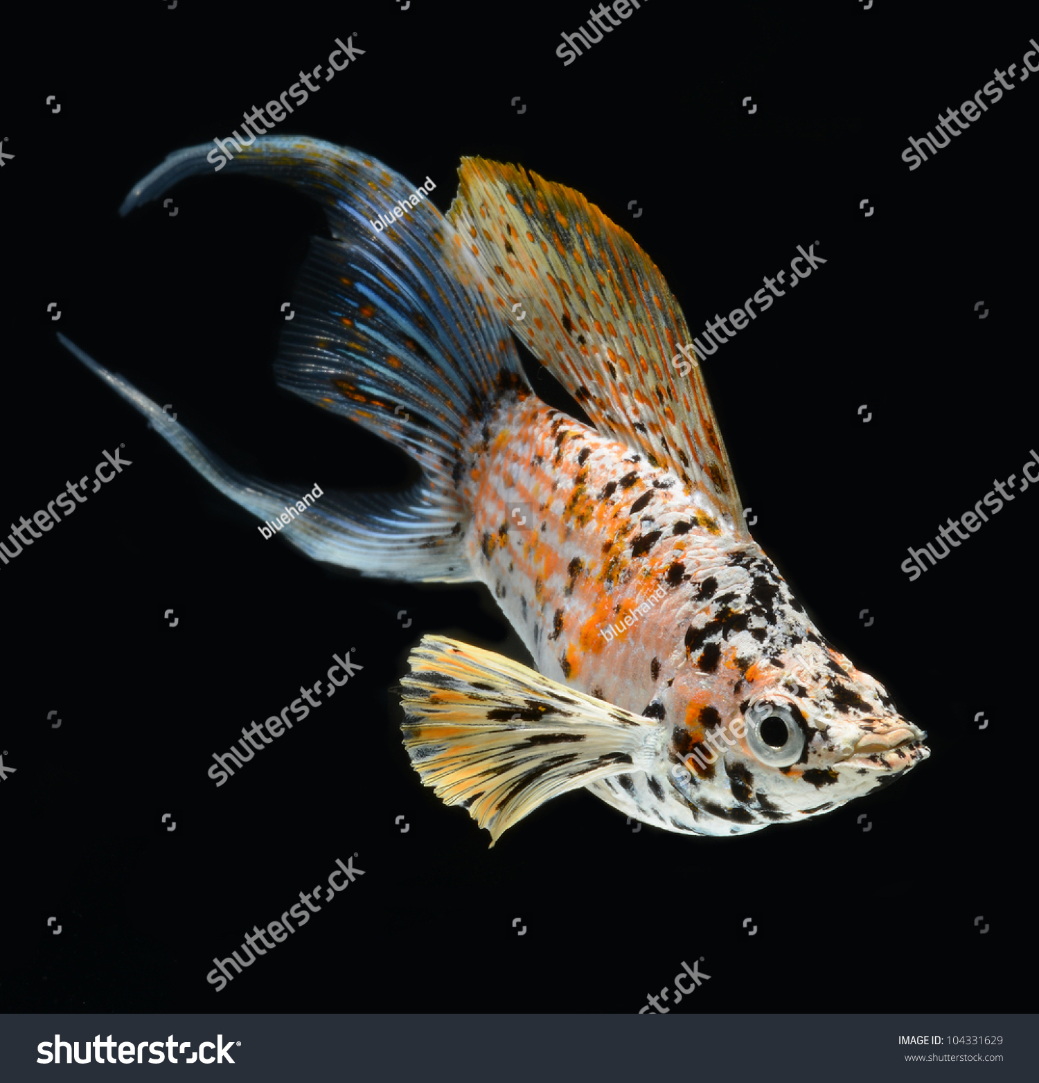 Molly Fish Isolated On Black Background Stock Photo - Image: 52348128