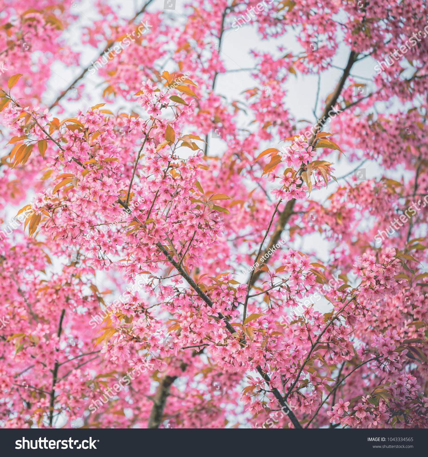 Closeup Of Sakura Flower In Spring Season At Japan Ez Canvas