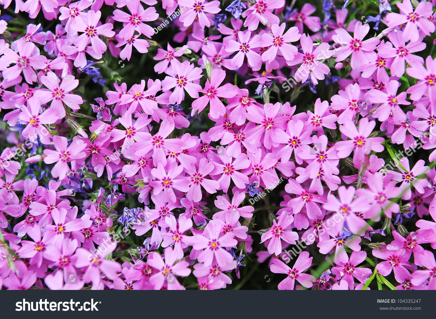 Purple Phlox Subulata Small Flowers Bloom In Late Spring And Early