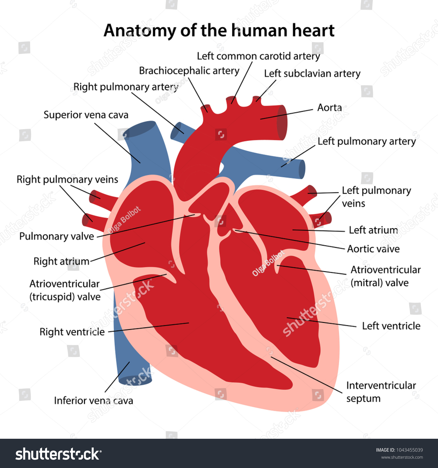 Anatomy Human Heart Cross Sectional Diagram Stock Vector Royalty