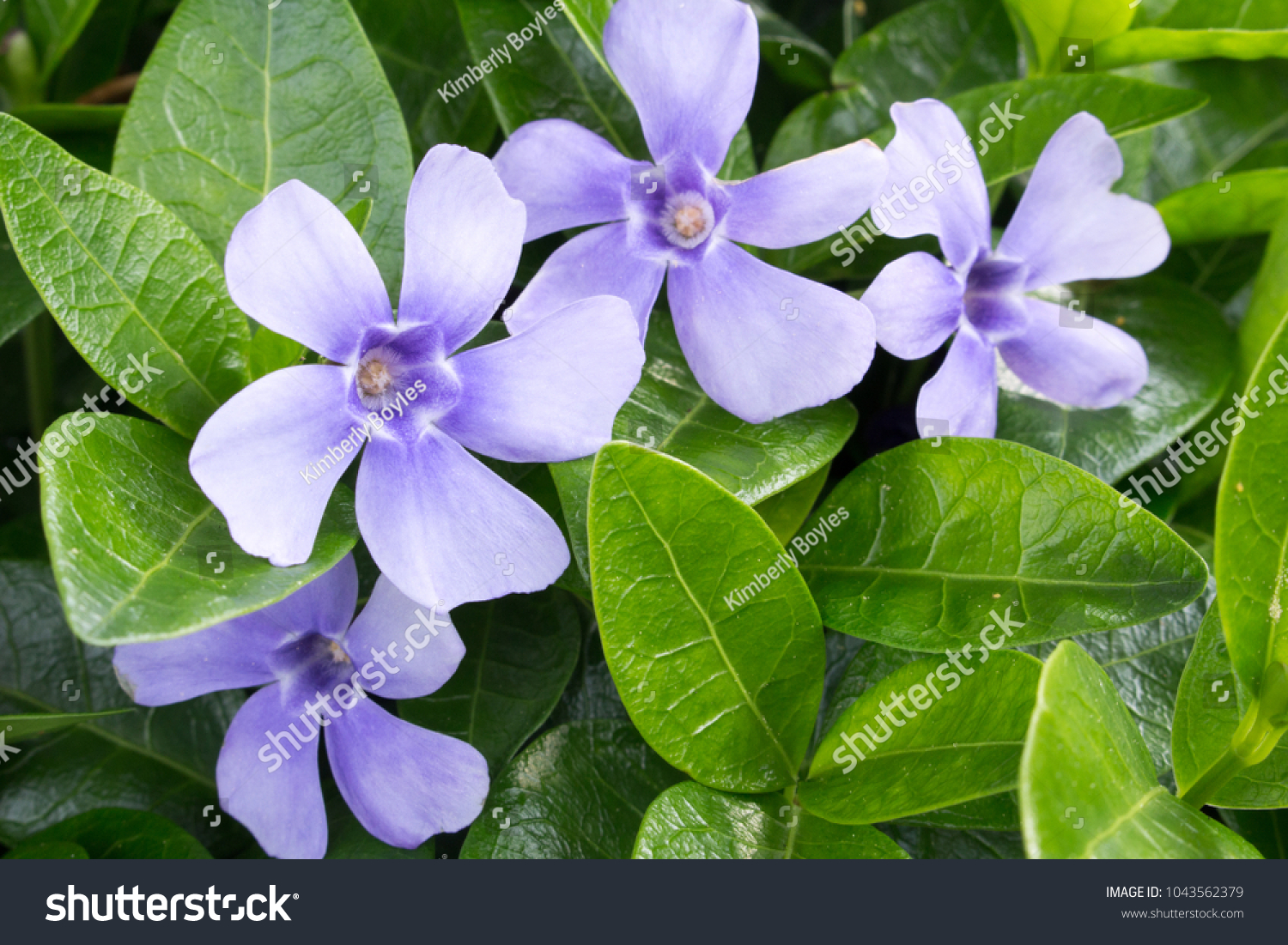Vinca minor blooming ground cover lavender stock photo royalty free vinca minor blooming ground cover with lavender blue flowers and green leaves apocynaceae is a izmirmasajfo