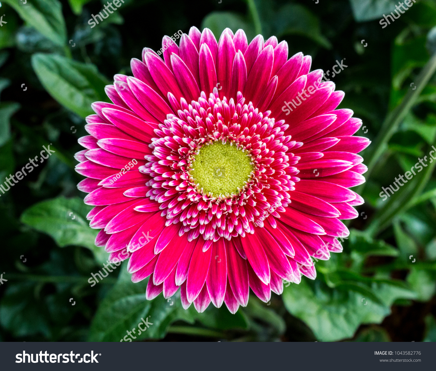 Close Pink African Daisy Flower Transvaal Stock Photo Edit Now