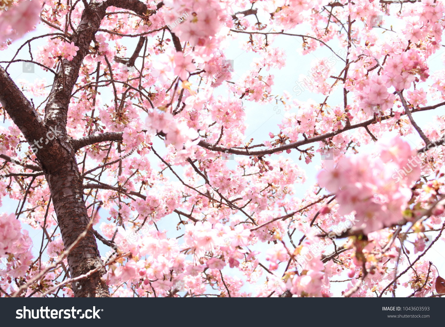 Sakura Cherry Blossom Season In Japan Pink Spring Flower Background