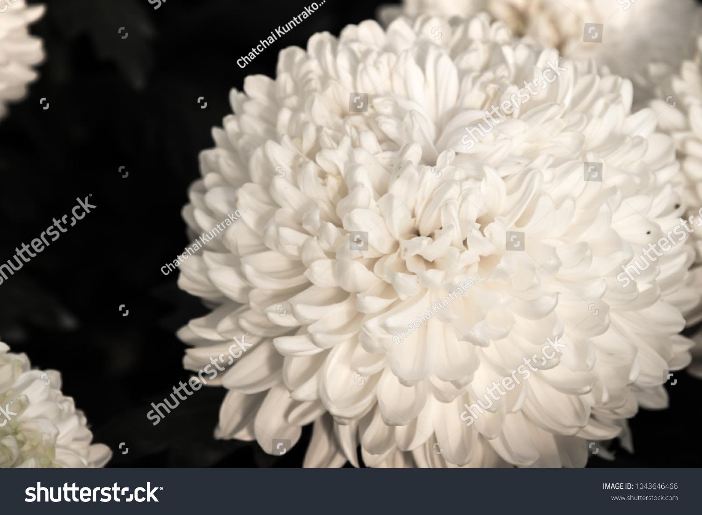 White Chrysanthemum As Background The White Chrysanthemum Flower