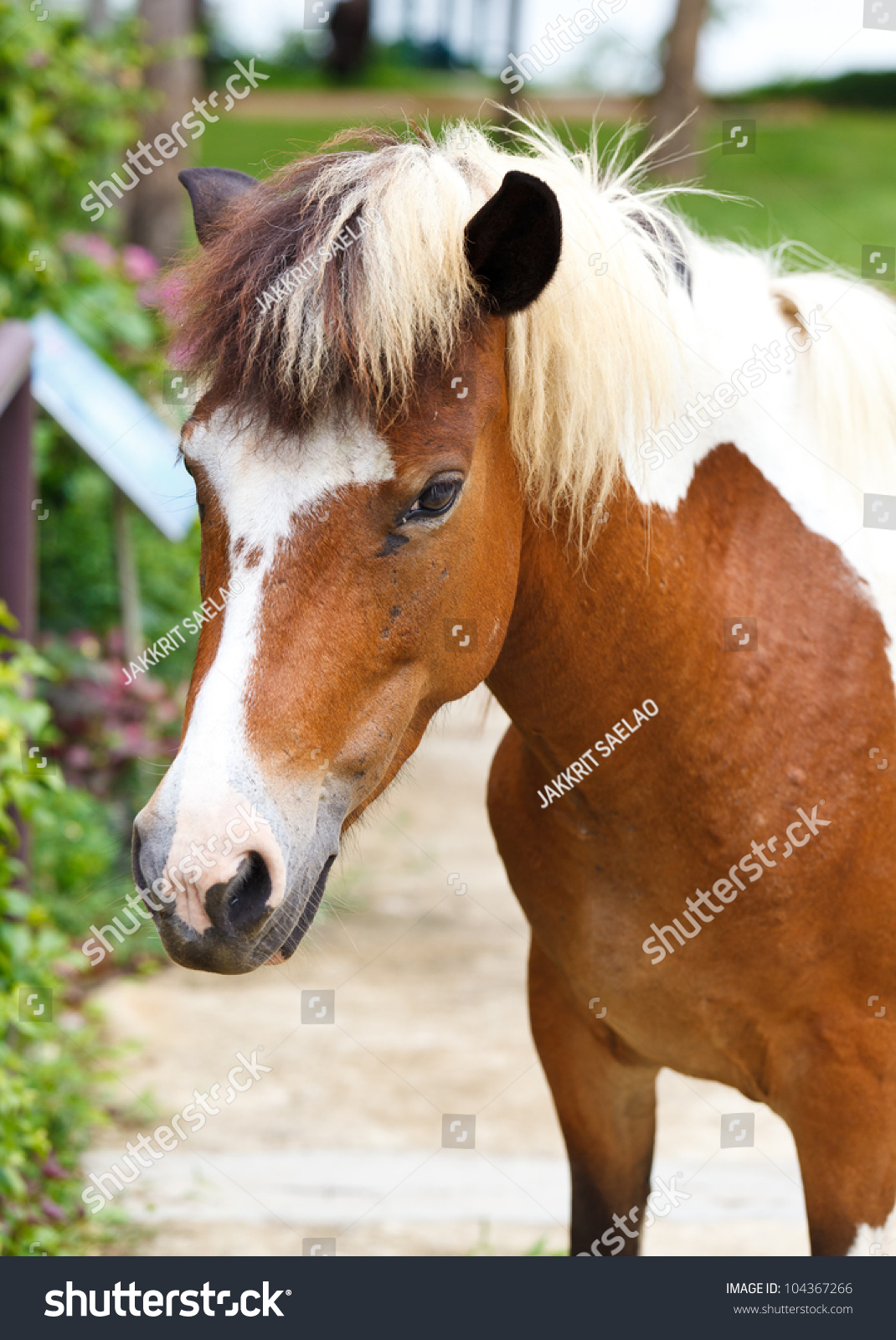 Dwarf Horses Garden White Brown Color Stock Photo (Edit Now ...