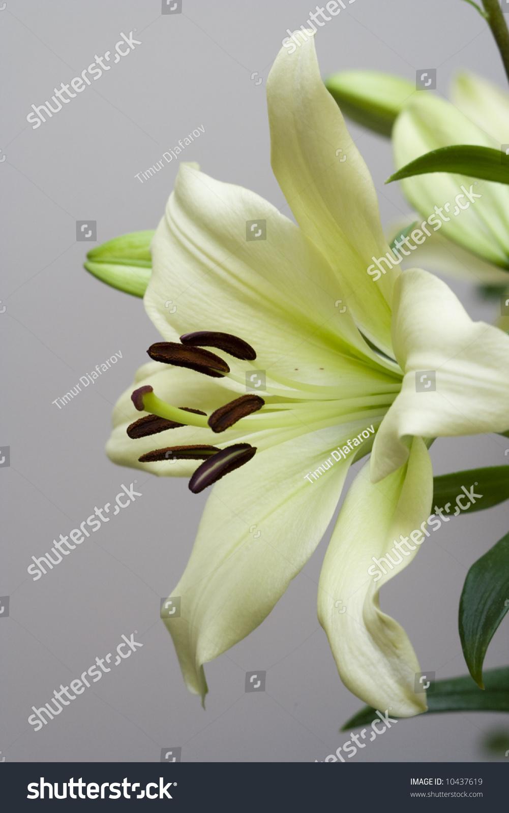 Macro closeup madonna lily flower stock photo download now macro close up of madonna lily flower izmirmasajfo