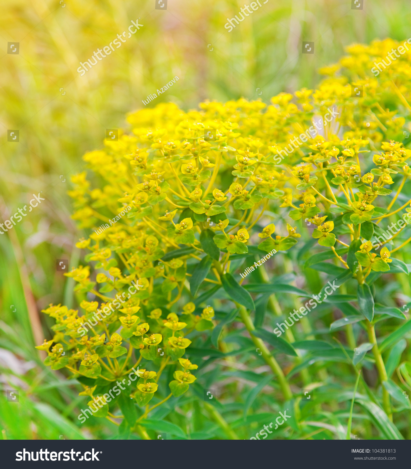 Field Beautiful Wild Yellow Euphorbia Flowers Stock Photo 100