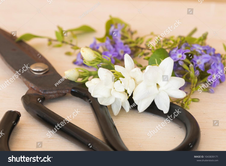 Jasmine purple flowers garden scissors prepare stock photo edit now jasmine and purple flowers from garden with scissors for prepare florists on background wooden izmirmasajfo