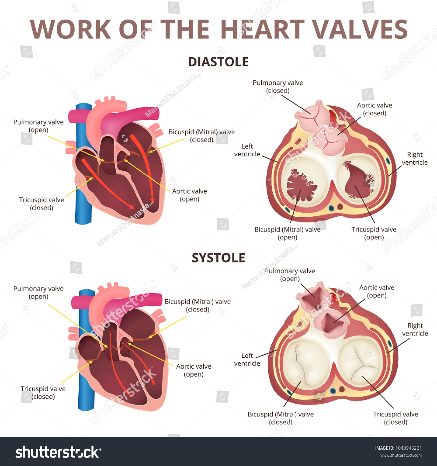 Work Heart Valves Anatomy Human Heart Stock Vector 1043948221 ...