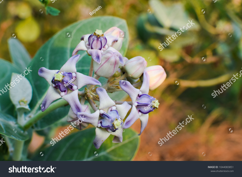 Purple Crown Flower Blooming On Tree Stock Photo Edit Now