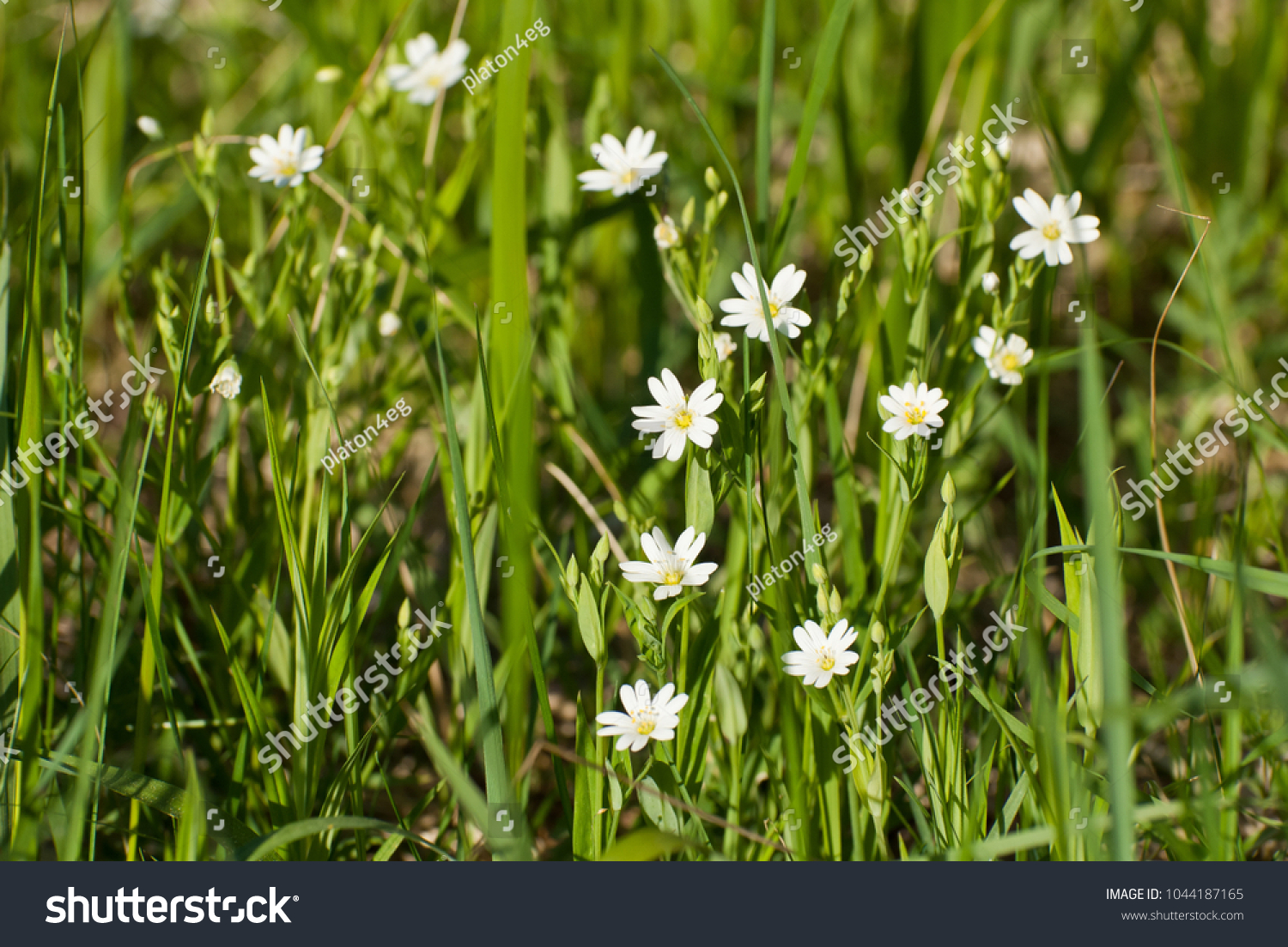 Small White Flowers In The Grass Ez Canvas