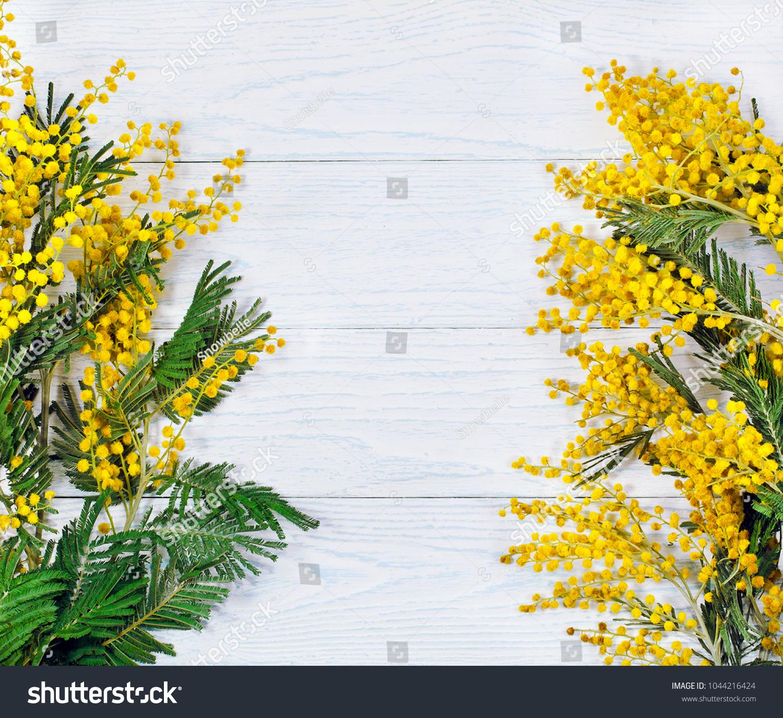 Branch Mimosa Acacia Tree Yellow Flowers Stock Photo Edit Now