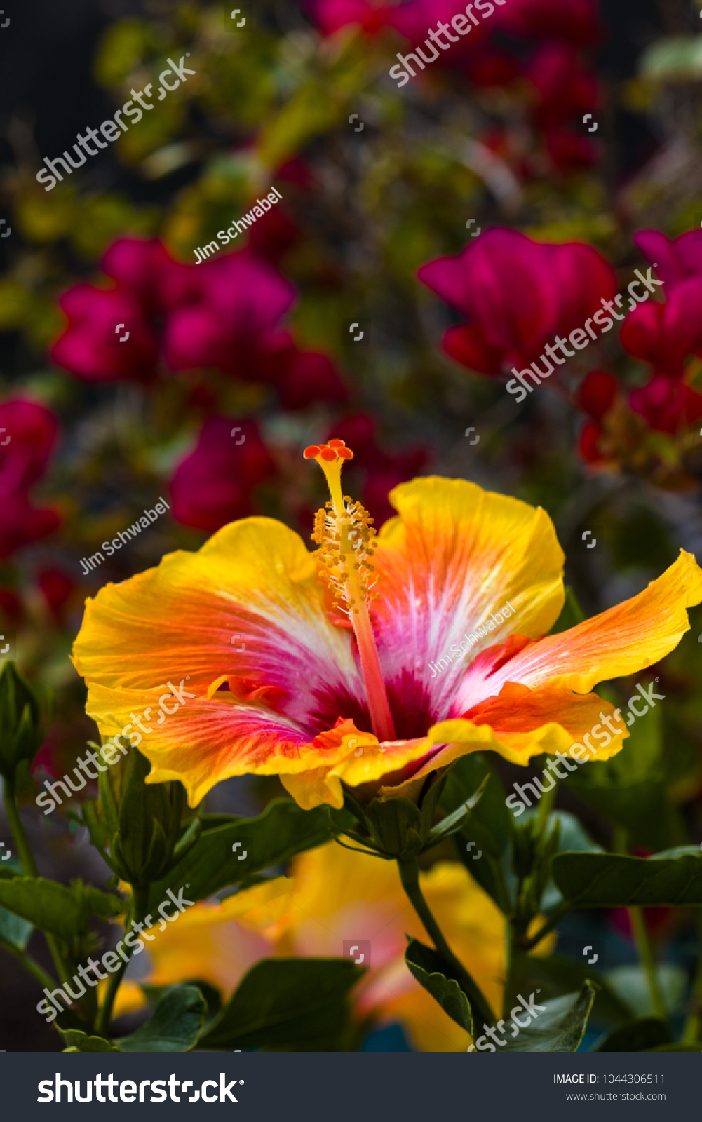 Yellow And Red Huge Colorful Trumpet Shaped Hibiscus Flower With