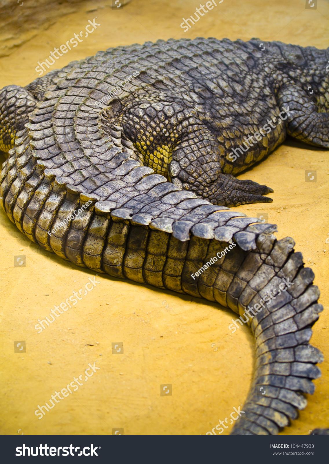 Crocodile tail - photo#17