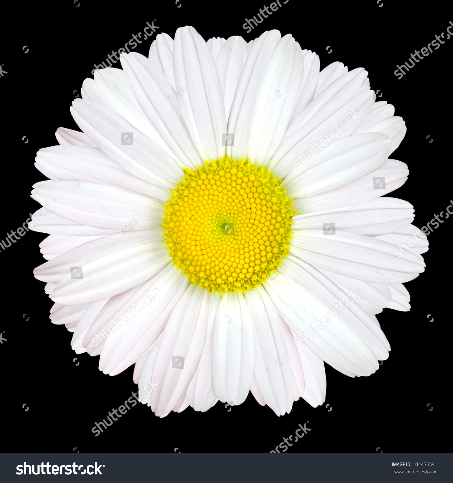 White Daisy Flower Isolated On Black Stock Photo 104456591 ...