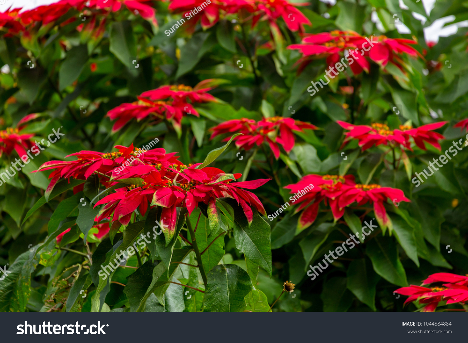 People Think That Red Color Flowers Stock Photo (Royalty Free ...