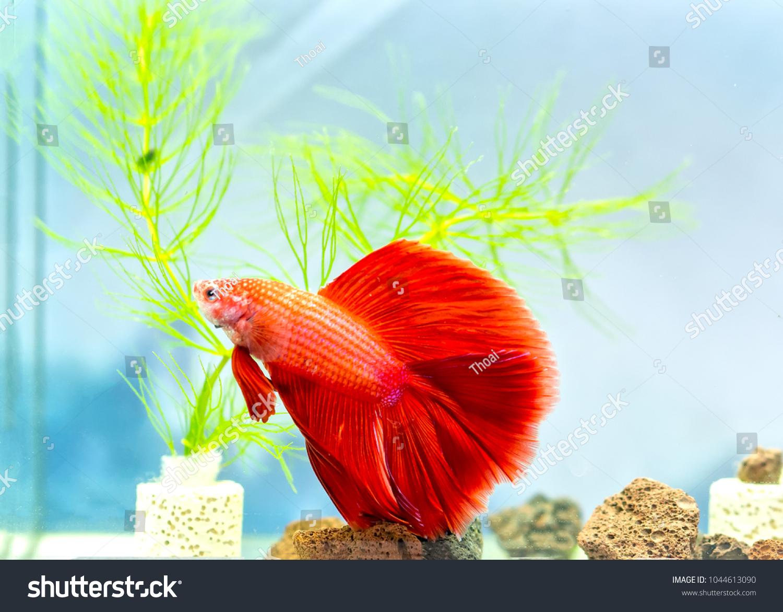 Halfmoon Betta Fish Colorful Fish Swimming Stock Photo (Edit Now ...