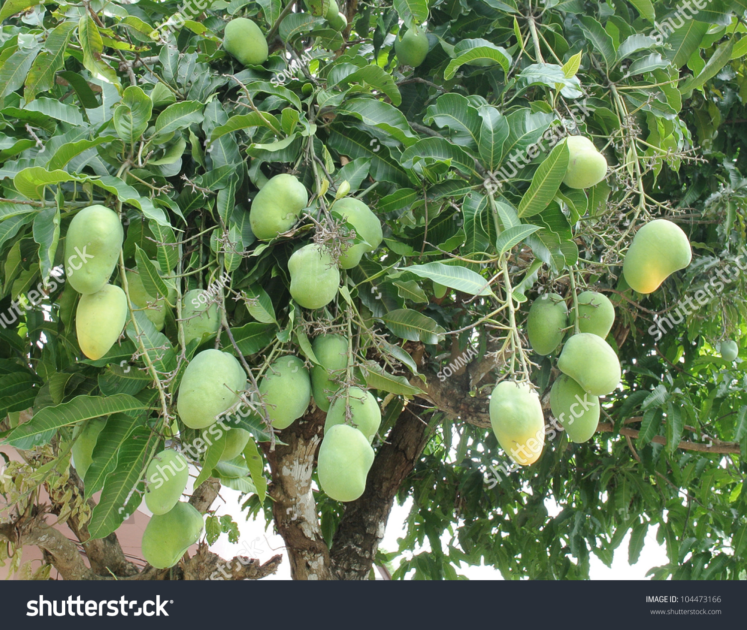 the life of the mango tree From time immemorial, the mango, known as the king of fruits, has been an important part of indian life mangos have historically been revered as symbols of life.