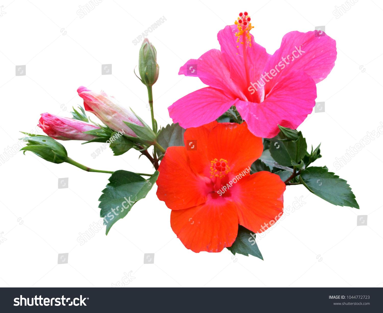 Beautiful hibiscus flowers colorful china rose stock photo royalty beautiful hibiscus flowers colorful or china rose hawaiian hibiscus chinese rose shoe flower izmirmasajfo Gallery