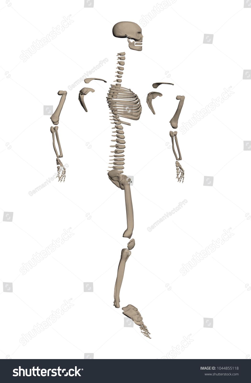 Human Skeleton Disassembled Into Bones Study Stock Illustration