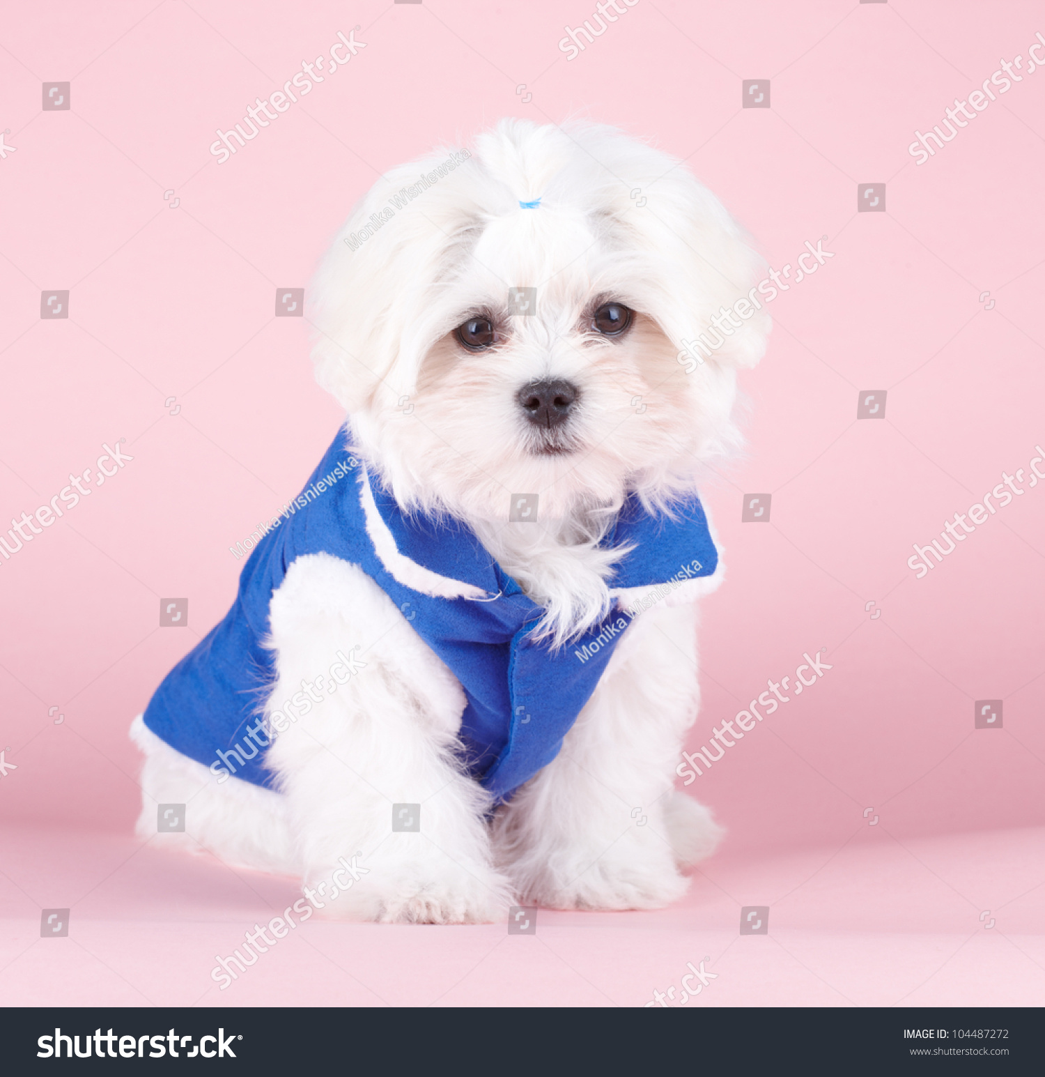 Sweet Fluffy: Cute Fluffy Young Maltese Puppy Sweet Stock Photo