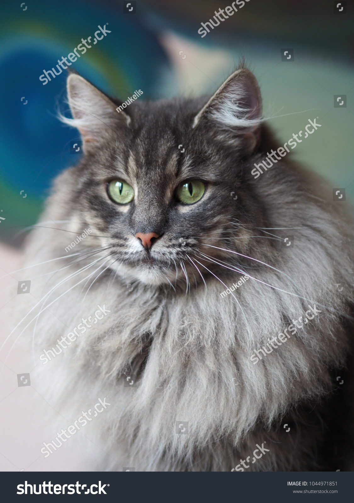 Blue Tabby Norwegian Forest Cat Stock Photo Edit Now 1044971851