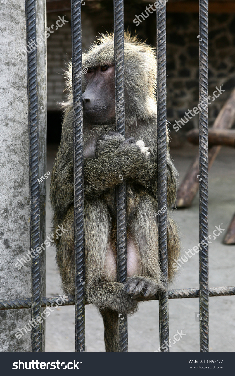 Baboon Simia Hamadryas Monkey Grimaces Cage Stock Photo (Royalty ...