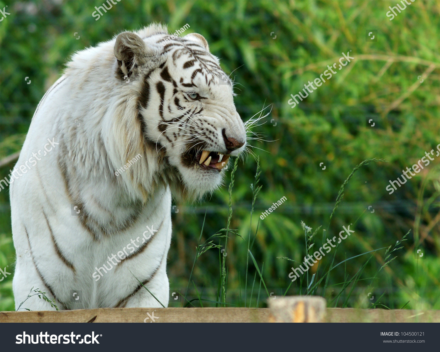 roaring white tiger stock photo (edit now) 104500121 - shutterstock