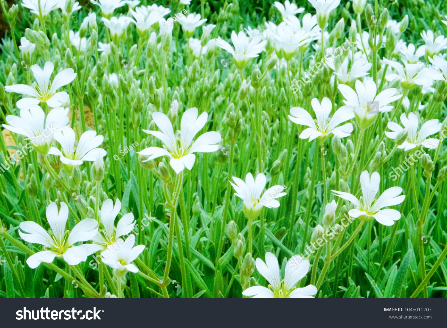 Green Lawn Big White Flowers Ground Stock Photo Edit Now