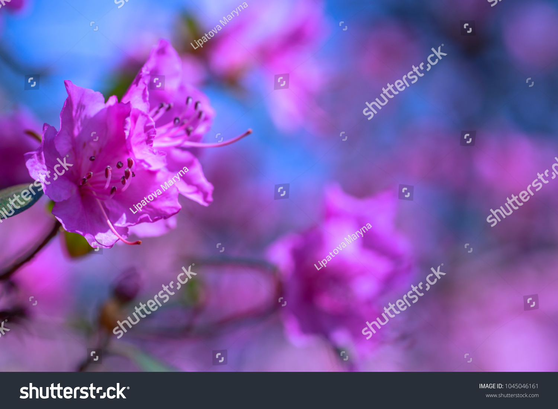Bush Flowering Azaleas Against Background Trees Stock Photo 100