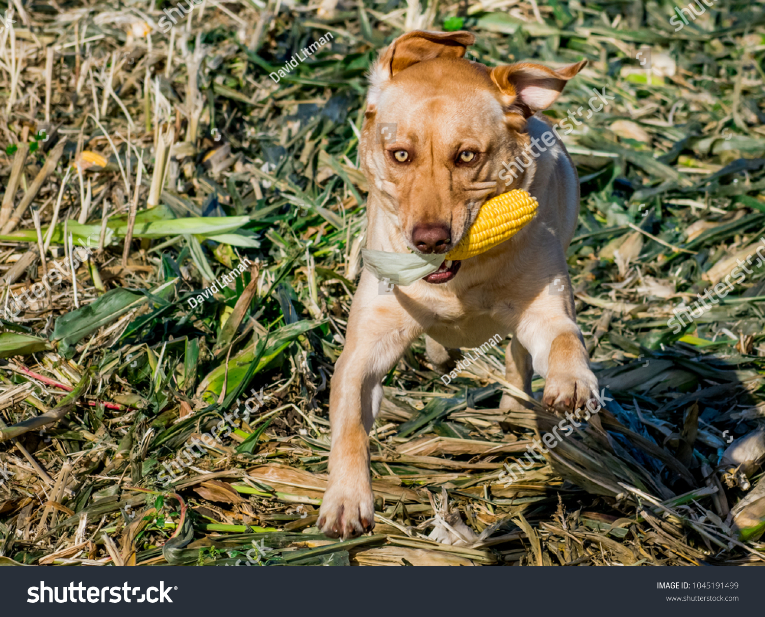 A young, energetic dog (yellow Labrador retriever, Lab) runs and jumps though a corn field with an ear of corn.