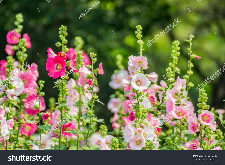 Close pink hollyhock flowers garden hollyhock stock photo edit now close up pink hollyhock flowers in garden hollyhock nature background with pastel concept izmirmasajfo