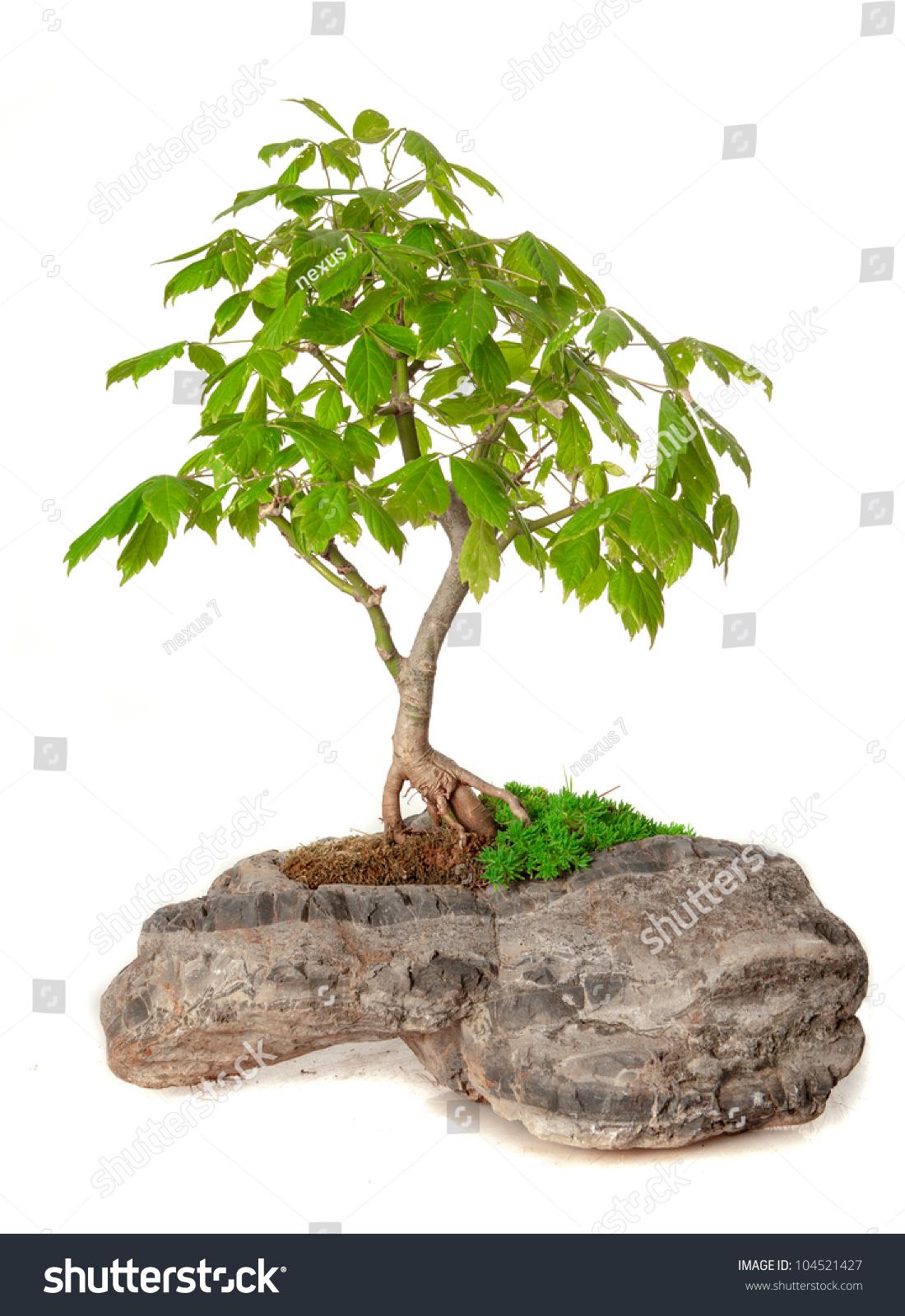 Acer Negundo Bonsai Isolated On White Stock Photo Edit Now 104521427