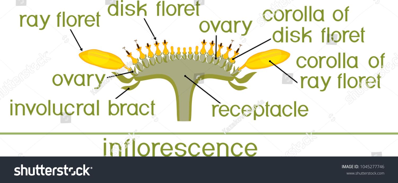 Structure Flower Sunflower Cross Section Diagram Stock Vector ...