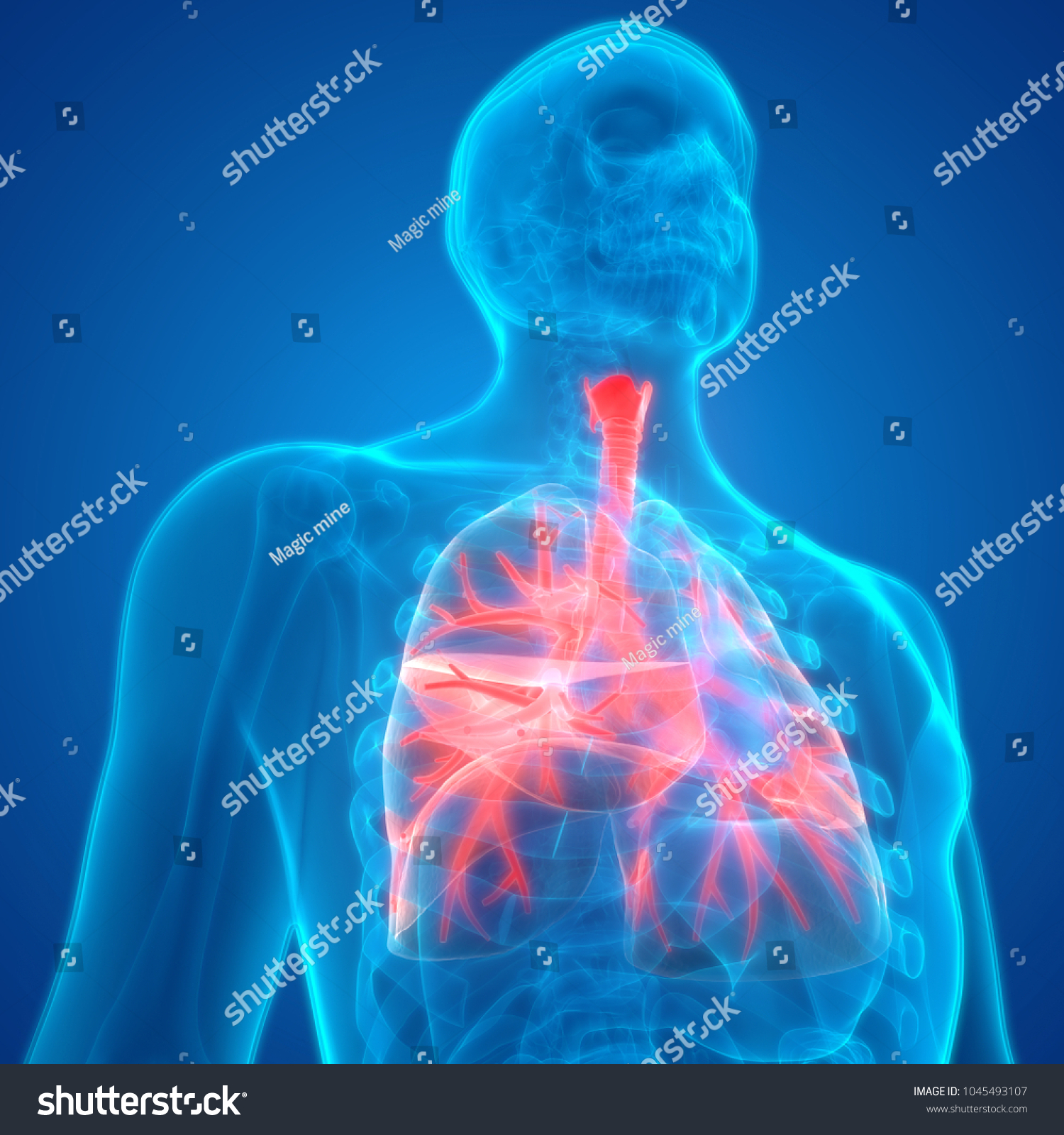 Human Respiratory System Lungs Anatomy 3 D Stock Illustration ...