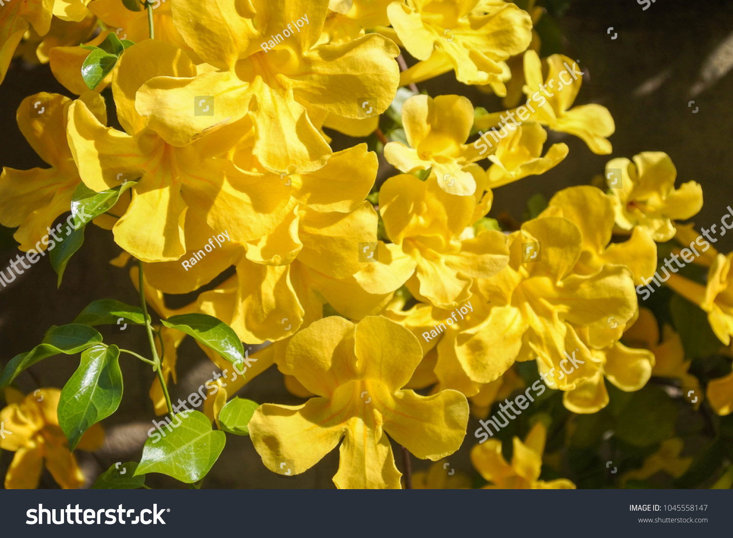Dolichandra Unguiscati Cat Claw Creeper Invasive Stock Photo Edit