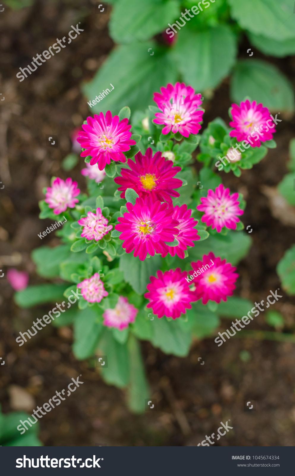 Colorful Beautiful Blooming Flowers Aster Genus Stock Photo Edit