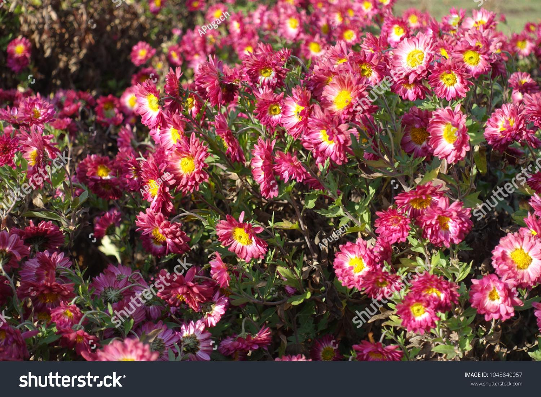 Cerise white daisylike flowers chrysanthemum stock photo 1045840057 cerise and white daisy like flowers of chrysanthemum izmirmasajfo Images