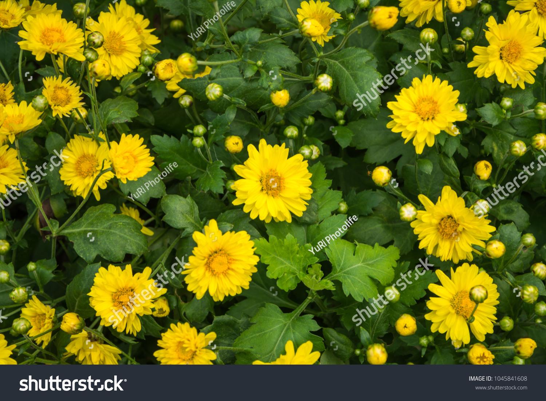 Yellow Flower Chrysanthemum Dendranthema Indicum Chrysanthemum Stock