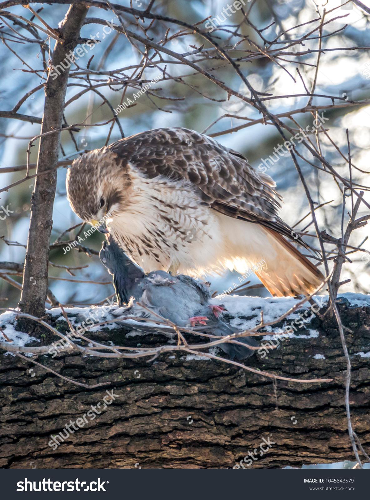 Redtailed Hawk Buteo Jamaicensis Bird Prey Stock Photo Edit Now 1045843579
