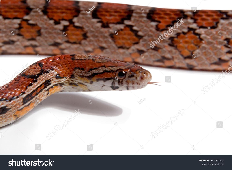 Maize Snake Elaphe Guttata Variety Red Stock Photo (Edit Now