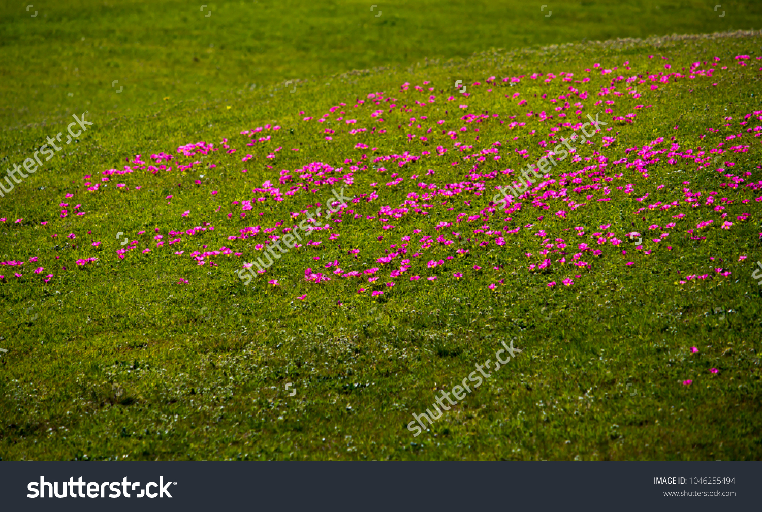 Bright tiny pink flowers guildford grass stock photo edit now bright tiny pink flowers of guildford grass or onion grass from south africa is a common mightylinksfo