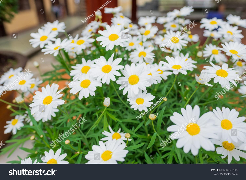 Daisies Aromatic European Plant Daisy Family Stock Photo Edit Now