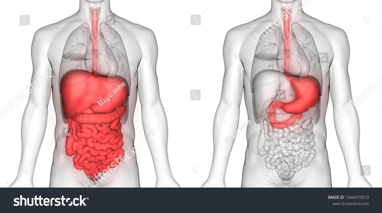 Human Digestive System Stomach Anatomy 3 D Stock Illustration ...