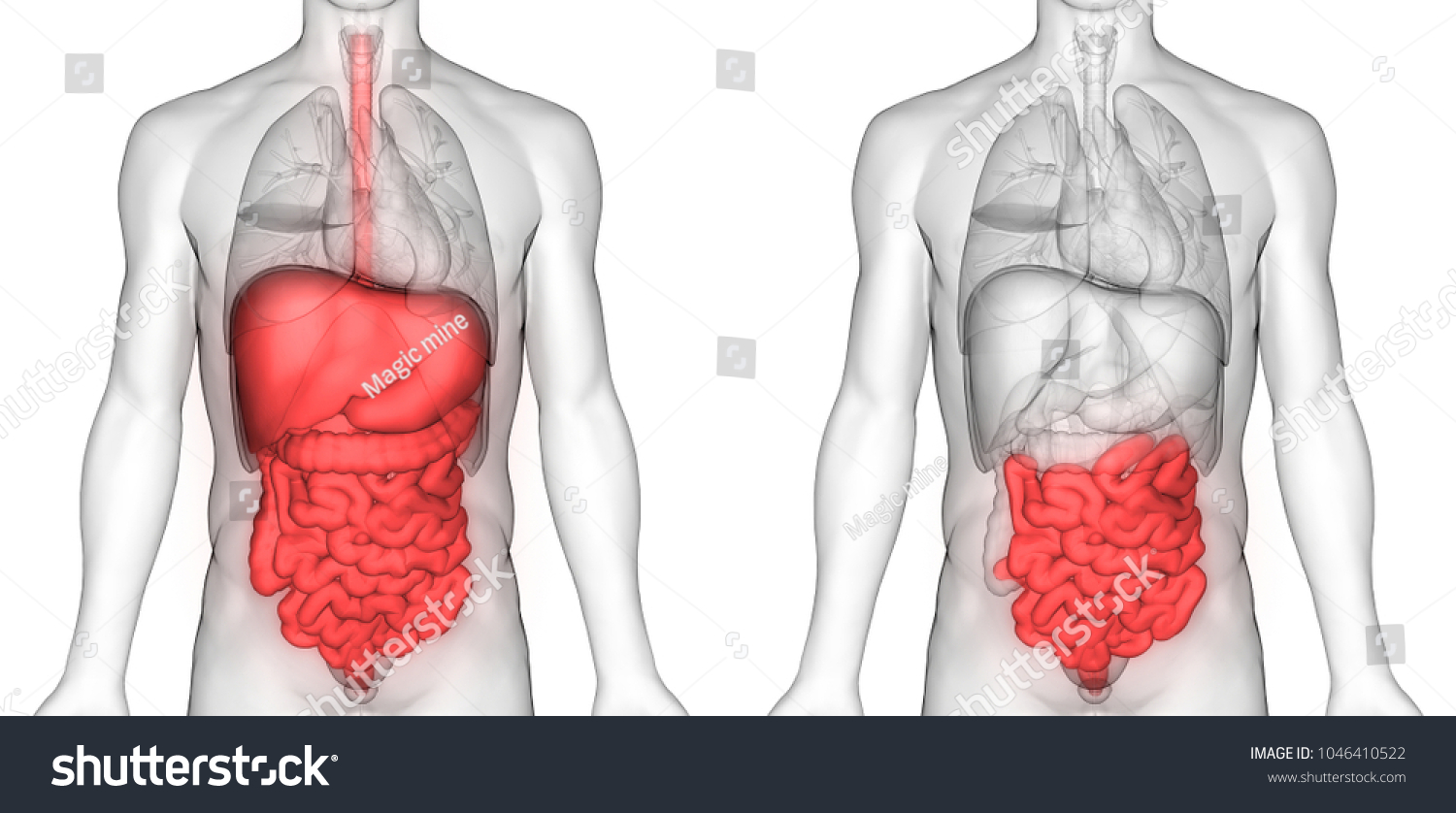 Human Digestive System Small Intestine Anatomy Stock Illustration ...