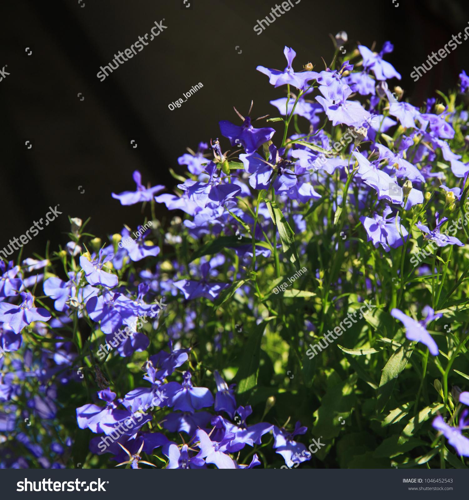 Blue trailing lobelia sapphire flowers edging stock photo edit now blue trailing lobelia sapphire flowers or edging lobelia garden lobelia latin name lobelia erinus izmirmasajfo