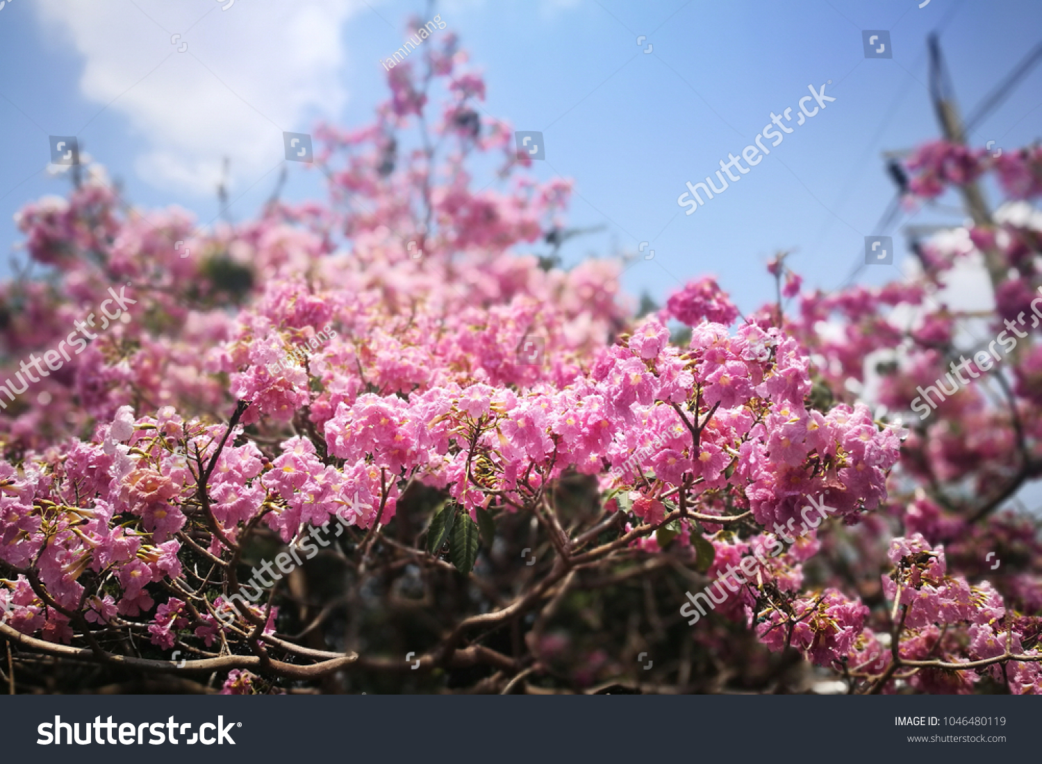 Selective Focusing Frilly Pink Tabebuia Tree Stock Photo Edit Now