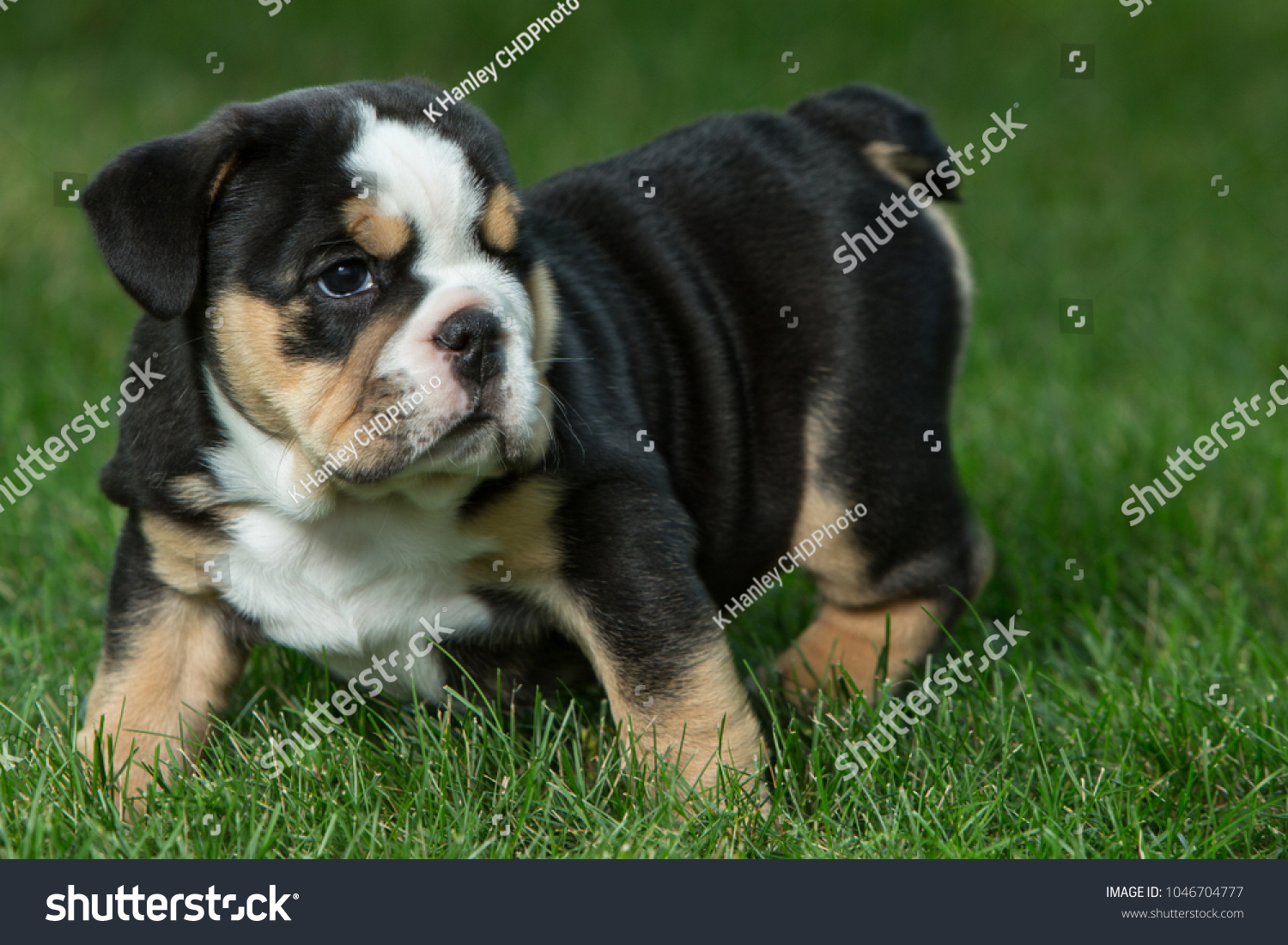 Cute Brown Black White English Bulldog Foto De Stock Editar Ahora 1046704777